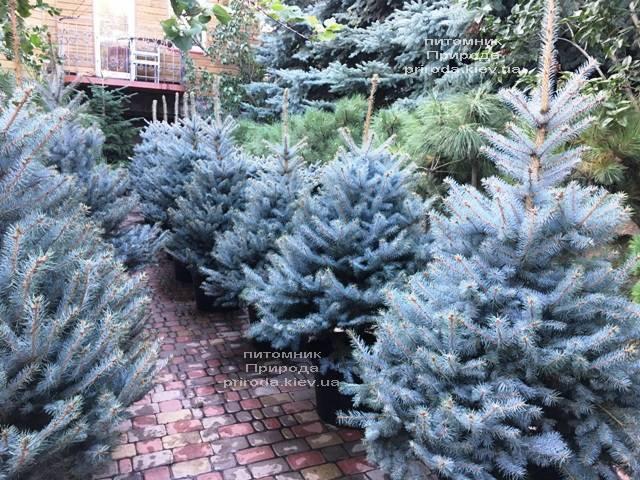 Ель голубая Блю Диамонд (Picea pungens Blue Diamond) ФОТО Питомник растений Природа Priroda (231)