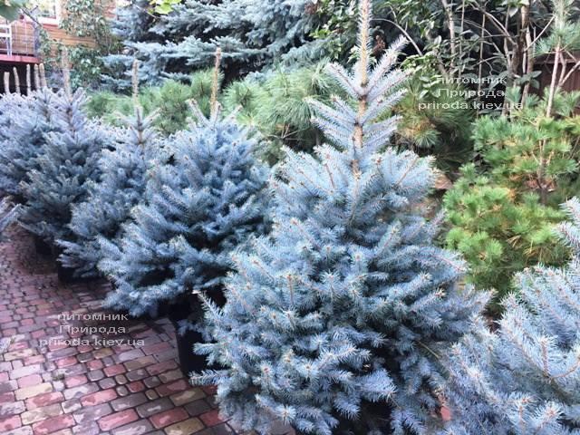 Ель голубая Блю Диамонд (Picea pungens Blue Diamond) ФОТО Питомник растений Природа Priroda (239)