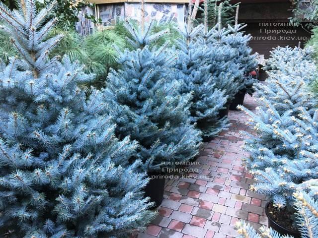 Ель голубая Блю Диамонд (Picea pungens Blue Diamond) ФОТО Питомник растений Природа Priroda (241)