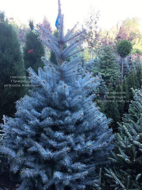 Ель голубая Блю Диамонд (Picea pungens Blue Diamond) ФОТО Питомник растений Природа Priroda (235)