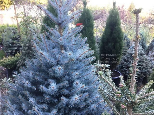 Ель голубая Блю Диамонд (Picea pungens Blue Diamond) ФОТО Питомник растений Природа Priroda (237)