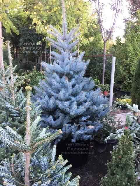 Ель голубая Блю Диамонд (Picea pungens Blue Diamond) ФОТО Питомник растений Природа Priroda (229)