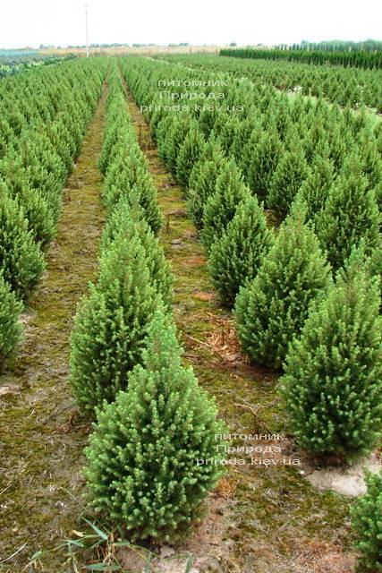 Ель канадская Коника (Picea glauca Conica) ФОТО Питомник растений Природа Priroda (180)