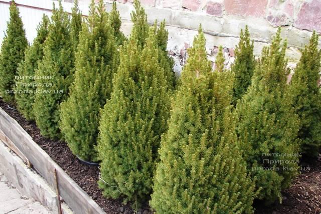 Ялина канадська Коніка (Picea glauca Conica) ФОТО Розплідник рослин Природа Priroda (181)