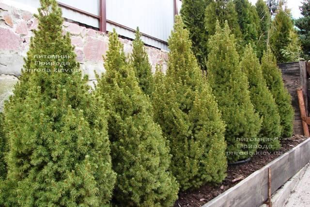 Ель канадская Коника (Picea glauca Conica) ФОТО Питомник растений Природа Priroda (182)