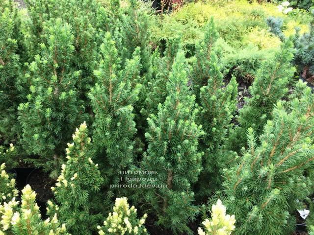 Ялина канадська Коніка (Picea glauca Conica) ФОТО Розплідник рослин Природа Priroda (183)