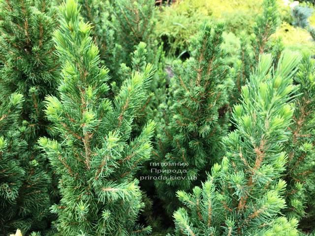 Ель канадская Коника (Picea glauca Conica) ФОТО Питомник растений Природа Priroda (184)