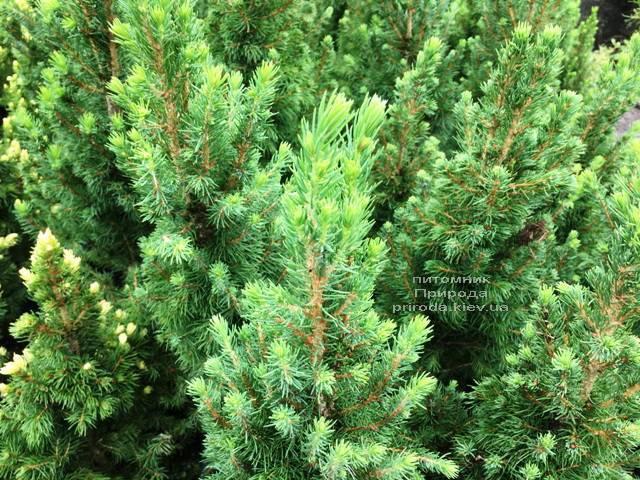 Ель канадская Коника (Picea glauca Conica) ФОТО Питомник растений Природа Priroda (185)