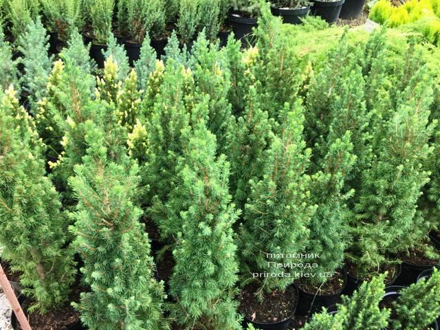Ялина канадська Коніка (Picea glauca Conica) ФОТО Розплідник рослин Природа Priroda (186)