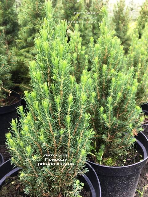 Ель канадская сизая Цукерхут (Picea glauca Zuckerhut) ФОТО Питомник растений Природа Priroda (197)