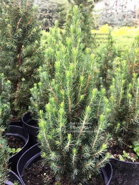 Ель канадская сизая Цукерхут (Picea glauca Zuckerhut) ФОТО Питомник растений Природа Priroda (198)