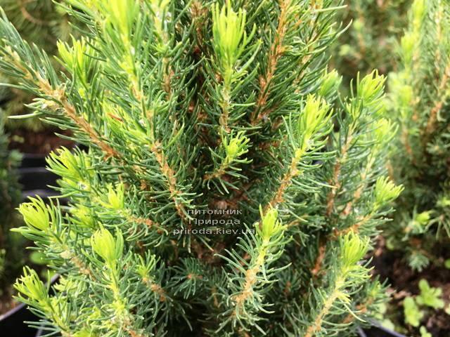 Ель канадская сизая Цукерхут (Picea glauca Zuckerhut) ФОТО Питомник растений Природа Priroda (199)