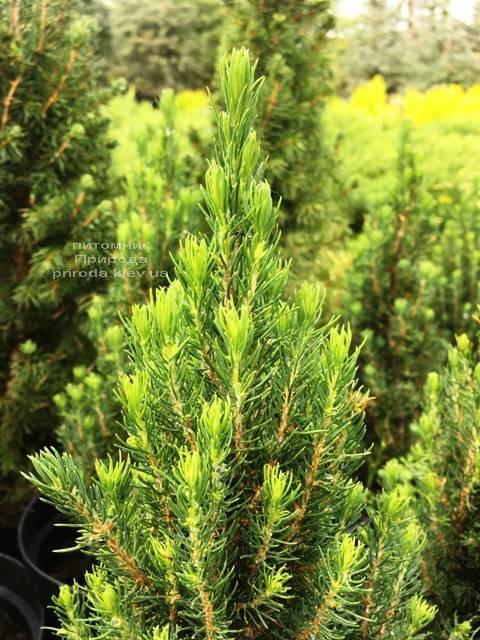 Ель канадская сизая Цукерхут (Picea glauca Zuckerhut) ФОТО Питомник растений Природа Priroda (200)