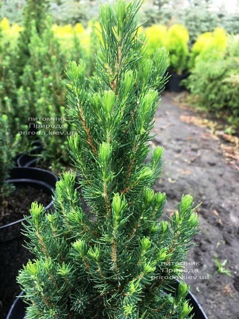 Ель канадская сизая Цукерхут (Picea glauca Zuckerhut) ФОТО Питомник растений Природа Priroda (201)