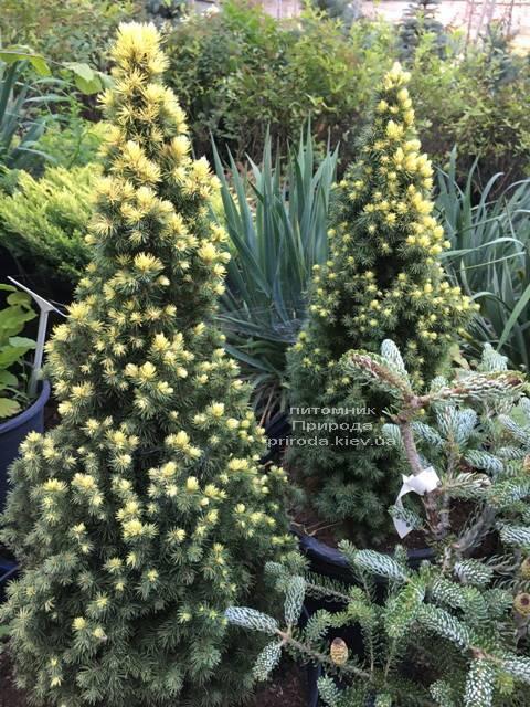 Ялина канадська сиза Дейзіз Уайт (Picea glauca Daisys White) ФОТО Розплідник рослин Природа Priroda (177)