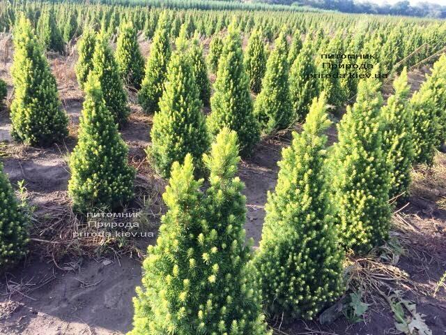Ялина канадська сиза Дейзіз Уайт (Picea glauca Daisys White) ФОТО Розплідник рослин Природа Priroda (187)