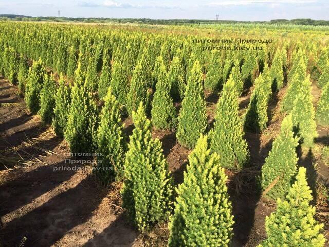 Ель канадская сизая Рейнбоуз Энд (Picea glauca Rainbows End) ФОТО Питомник растений Природа Priroda (190)
