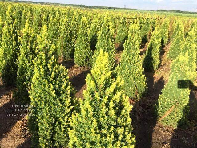 Ель канадская сизая Рейнбоуз Энд (Picea glauca Rainbows End) ФОТО Питомник растений Природа Priroda (189)