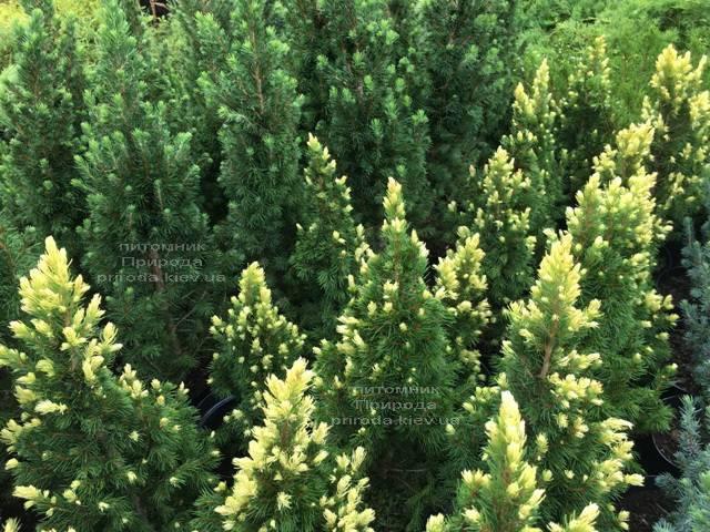 Ель канадская сизая Рейнбоуз Энд (Picea glauca Rainbows End) ФОТО Питомник растений Природа Priroda (166)