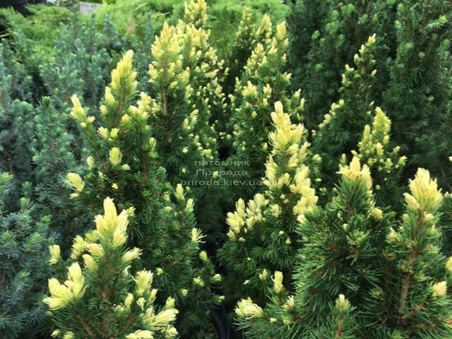 Ель канадская сизая Рейнбоуз Энд (Picea glauca Rainbows End) ФОТО Питомник растений Природа Priroda (174)