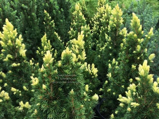 Ель канадская сизая Рейнбоуз Энд (Picea glauca Rainbows End) ФОТО Питомник растений Природа Priroda (173)
