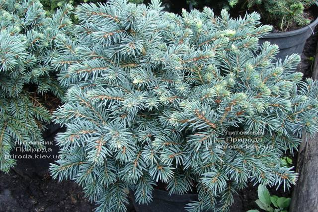 Ель колючая Вальдбрун (Picea pungens Waldbrunn) ФОТО Питомник растений Природа Priroda (221)