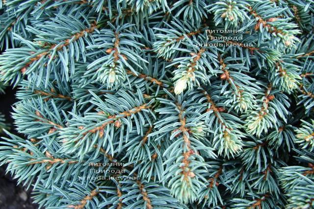 Ель колючая Вальдбрун (Picea pungens Waldbrunn) ФОТО Питомник растений Природа Priroda (223)