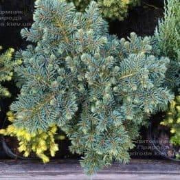 Ель колючая Вальдбрун (Picea pungens Waldbrunn) ФОТО Питомник растений Природа Priroda (224)
