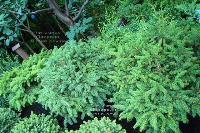 Ель обыкновенная Нидиформис (Picea abies Nidiformis) ФОТО Питомник растений Природа Priroda (217)
