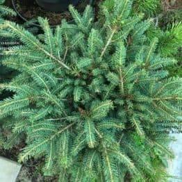 Ялина звичайна Нідіформіс (Picea abies Nidiformis) ФОТО Розплідник рослин Природа Priroda (220)