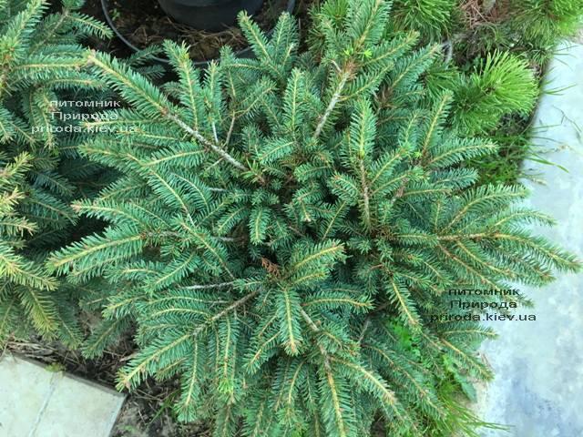 Ель обыкновенная Нидиформис (Picea abies Nidiformis) ФОТО Питомник растений Природа Priroda (220)