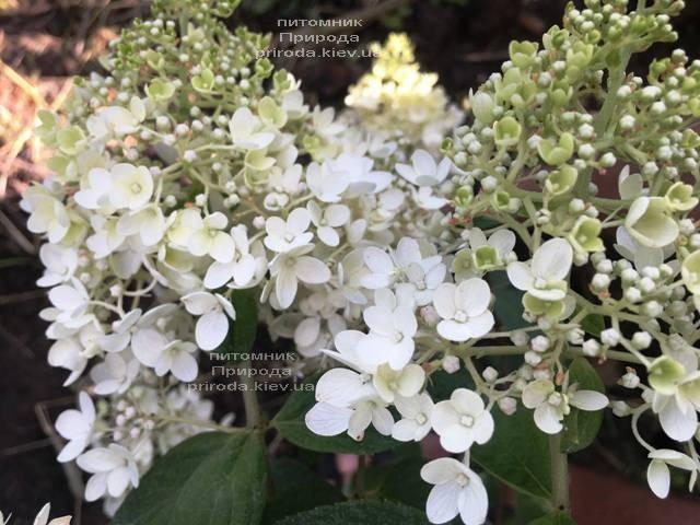 Гортензия метельчатая Юник (Hydrangea paniculata Unique) ФОТО Питомник растений Природа Priroda (12)