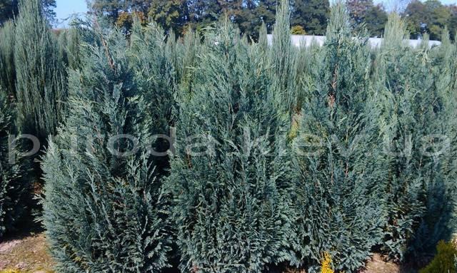 Кипарисовик Лавсона Колумнарис (Chamaecyparis lawsoniana Columnaris) ФОТО Питомник растений Природа Priroda (69)