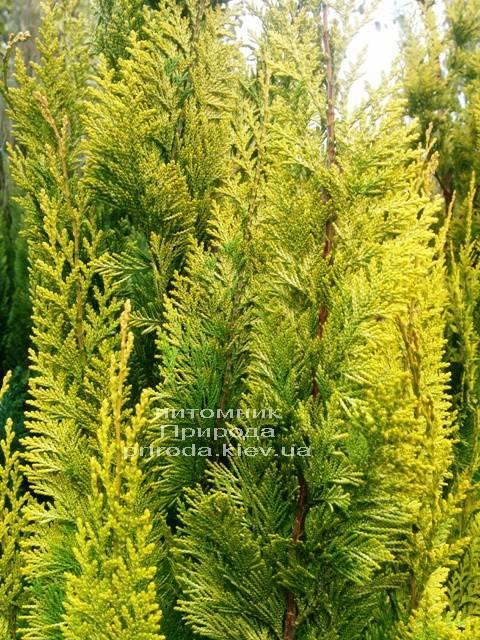 Кипарисовик Лавсона Івонне (Chamaecyparis lawsoniana Ivonne) ФОТО Розплідник рослин Природа Priroda (74)