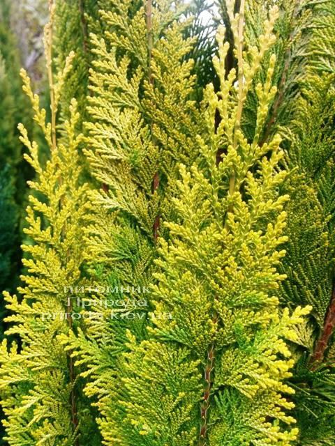 Кипарисовик Лавсона Івонне (Chamaecyparis lawsoniana Ivonne) ФОТО Розплідник рослин Природа Priroda (75)