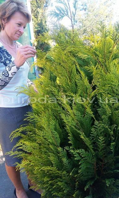 Кипарисовик Лавсона Івонне (Chamaecyparis lawsoniana Ivonne) ФОТО Розплідник рослин Природа Priroda (76)