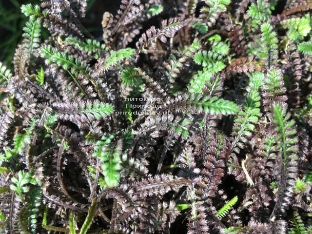 Лептинелла шероховатая (Котула) (Leptinella squalida Platt's Black) ФОТО Питомник растений Природа Priroda (2)