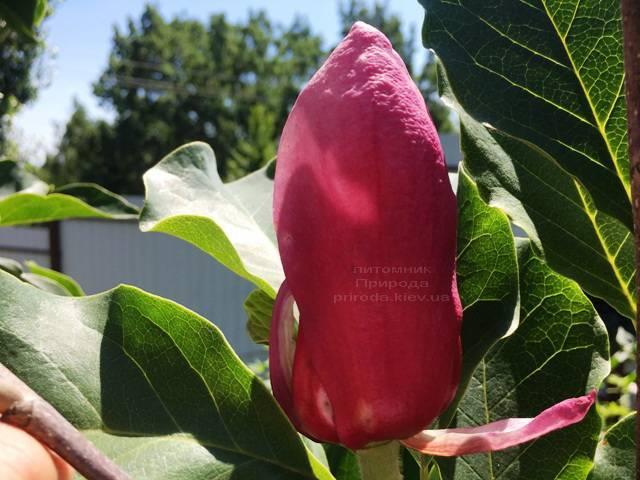 Магнолия Мач тилл Фрост ФОТО Питомник растений Природа (110)