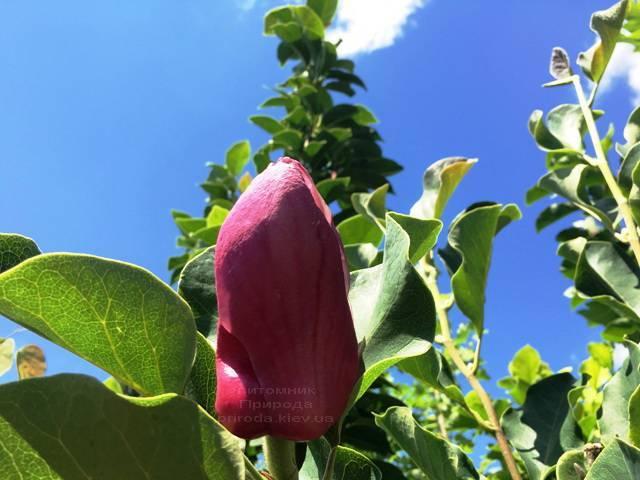 Магнолия Мач тилл Фрост ФОТО Питомник растений Природа (111)