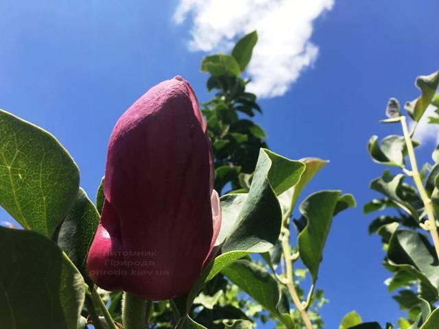 Магнолия Мач тилл Фрост ФОТО Питомник растений Природа (113)