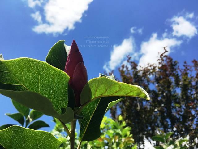 Магнолия Мач тилл Фрост ФОТО Питомник растений Природа (114)