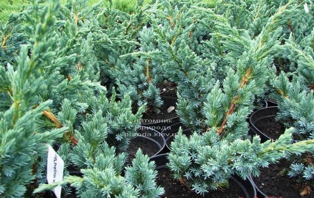 Ялівець лускатий Мейєр (Juniperus squamata Meyeri) ФОТО Розплідник рослин Природа Priroda (231)