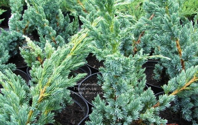 Ялівець лускатий Мейєр (Juniperus squamata Meyeri) ФОТО Розплідник рослин Природа Priroda (232)