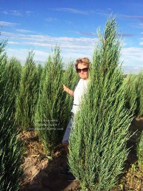Можжевельник скальный Блю Арроу (Блю Эрроу) (Juniperus scopolorum Blue Arrow) ФОТО Питомник растений Природа Priroda (214)