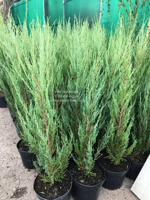 Можжевельник скальный Блю Арроу (Блю Эрроу) (Juniperus scopolorum Blue Arrow) ФОТО Питомник растений Природа Priroda (215)