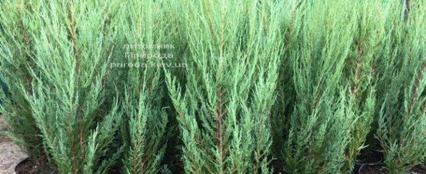Можжевельник скальный Блю Арроу (Блю Эрроу) (Juniperus scopolorum Blue Arrow) ФОТО Питомник растений Природа Priroda (217)