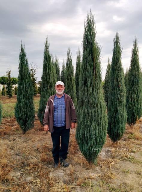 Ялівець скельний Блю Арроу (Блю Ерроу) (Juniperus scopolorum Blue Arrow) ФОТО Розплідник рослин Природа Priroda