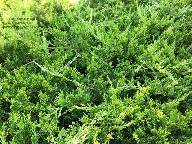 Ялівець козацький рокери Джем (Juniperus sabina Rockery Gem) ФОТО Розплідник рослин Природа Priroda (224)
