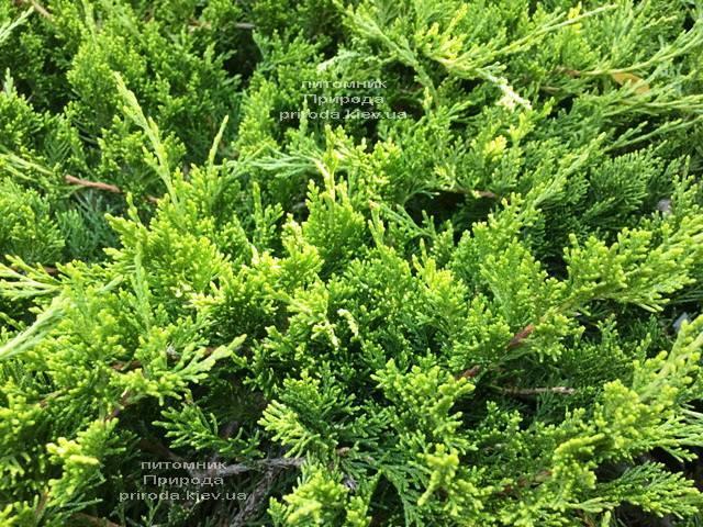 Ялівець козацький рокери Джем (Juniperus sabina Rockery Gem) ФОТО Розплідник рослин Природа Priroda (225)