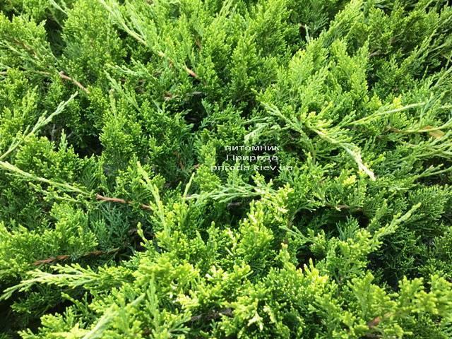 Можжевельник казацкий Рокери Джем (Juniperus sabina Rockery Gem) ФОТО Питомник растений Природа Priroda (226)